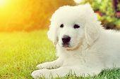 Cute white puppy dog lying on grass. Polish Tatra Sheepdog, known also as Podhalan or Owczarek Podha
