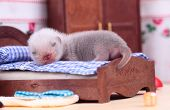 picture of ferrets  - Male ferret baby in the doll house sleeps on a little bed - JPG