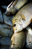 Freshly-caught fish