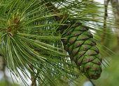 Armand's Pine