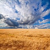 Field Of Wheat Dramaticl Cloudy Blue Sky