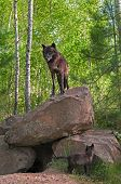Black Wolf (canis Lupus) Stands On Top Of Den - Pup Below
