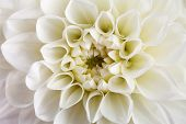 Dahlia flower close-up.