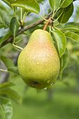 Bartlett Pear on a Tree