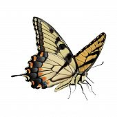 Swallowtail Butterfly - Papilio glaucus