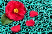 Camellia Net