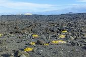 Sparse Vegetation At Volcanic Stones In Lanzarote With Volcano