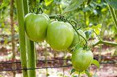 Ripe Tomato In Green Farm - Thailand
