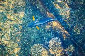blue parrotfish top view