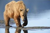 stock photo of clam  - Grizzly Bear  - JPG