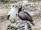 stock photo of booby  - Close up of masked Boobie at Galapagos island - JPG