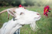 stock photo of baby goat  - Funny goat - JPG