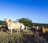 Cows Grazing At The Green Meadow In Sunset