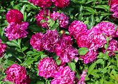 Nature Background With Bright Peony