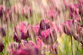 Tulip Rain