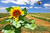 Giant colorful balloon flying in the cloudy sky above the kibbutz field and a great big sunflower