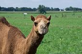 Camesl in Pasture