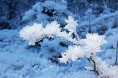 Twig With Hoarfrost Ice Needles