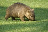 image of wombat  - Wombat on the grass  - JPG