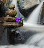 Purple wild flower on Zen rocks