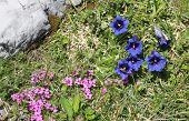 Blue Gentian And Saxifrage, Alpine Flowers