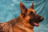 German Shepard Head In Profile
