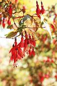 Fuchsia Bush In An Ornamental Garden