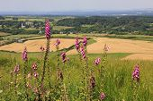 Wild Foxgloves, Dorset Landscape And Fields