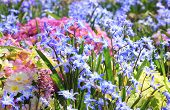 stock photo of cowslip  - Springlike flower bed with cowslip primula and scilla pastel colored - JPG