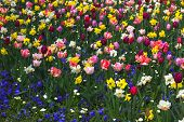 image of viola  - colorful flowerbed with tulips viola and narcissus - JPG