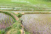 Terraces Rice Field