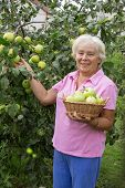 Cheerful Elderly Woman Collecting Apples In The Garden