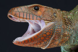 picture of aquatic animals  - The Caiman lizard is a big - JPG