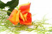 Red With Orange Rose