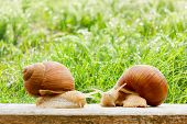 foto of garden snail  - snails two big spring summer garden fresh grass drops