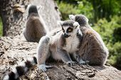 Group Of Ring-tailed Lemurs On The Tree Trunk