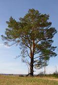 relict pine
