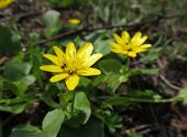 picture of celandine  - lesser celandine with some small insect on its blossom - JPG