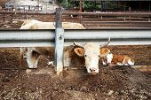 pic of calf cow  - Cow and calf in the farm in Israel - JPG
