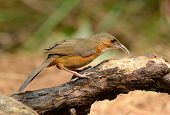 image of babbler  - beautiful Rusty - JPG