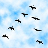 Illustration of a cormorant flock flying overhead with sky background