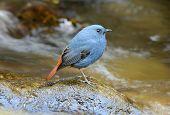 Male Plumbeous Redstart (rhyacornis Fuliginosa)