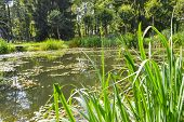 pic of weed  - A picturesque pond in the green summer forest - JPG