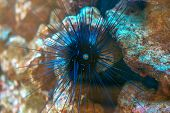 stock photo of echinoderms  - Sea urchin in the depths of the sea.