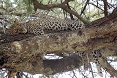 Leopard Sleeping On A Tree
