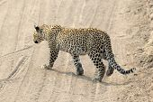 Leopard Crossing A Road