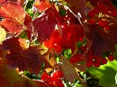 viburnum shrub fragment with berries and red autumnal leaves