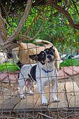 Little Guard Dog