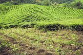 stock photo of cameron highland  - Landscape view of Tea Plantation in Cameron Highland - JPG