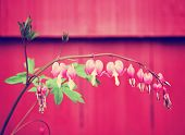 image from plant series - bleeding heart flower (dicentra spectabilis) toned with a retro vintage instagram filter effect